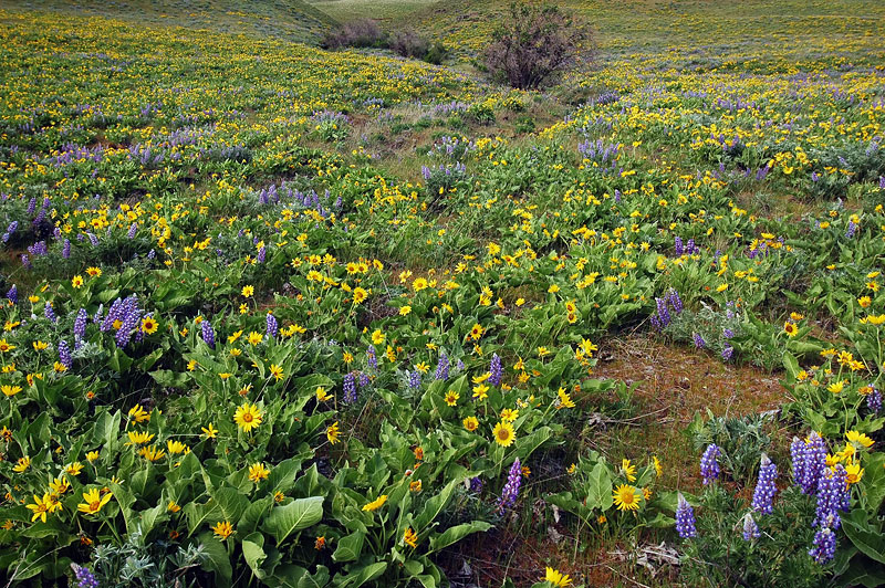 Lupine and Balsamroot at The Dalles Mountain