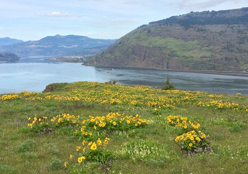 Balsamroot and river view from Mosier Plateau