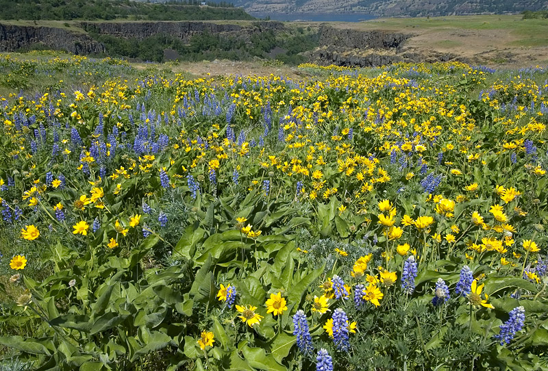 Balsamroot and Lupine at Rowena Plateau #2
