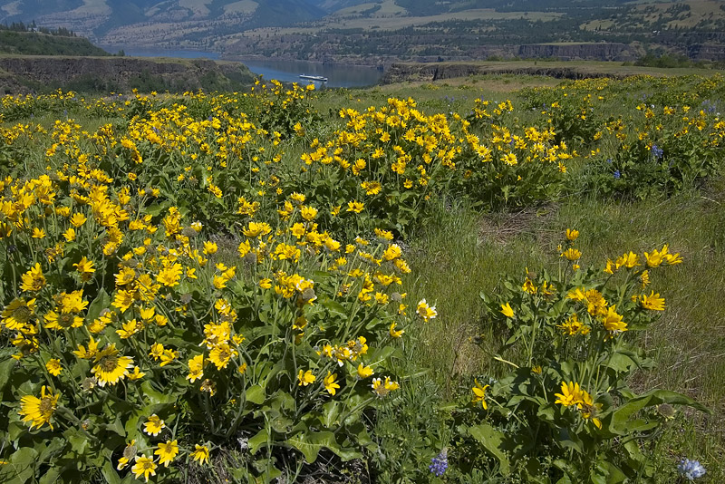 Balsamroot and Lupine at Rowena Plateau #6
