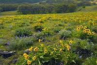 lupine_and_balsamroot_dalles_mt_1.jpg